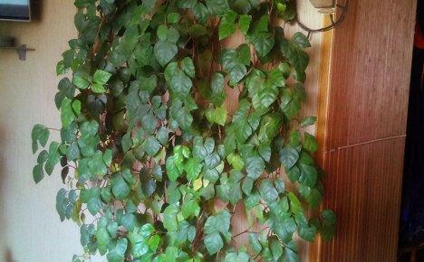 Величавый домашний виноград — комнатное растение для стильного интерьера
