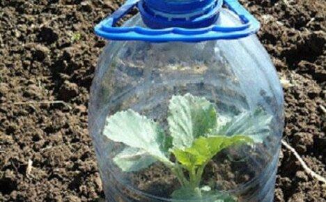 Безрассадный способ выращивания капусты