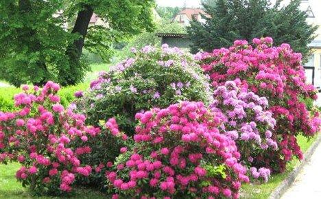Выбираем для своего сада рододендрон, осуществляем его посадку и учимся уходу за растением