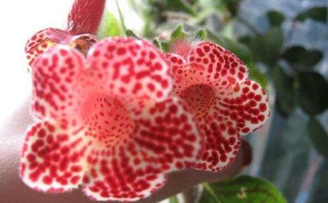 Секреты выращивания декоративного цветка калерия