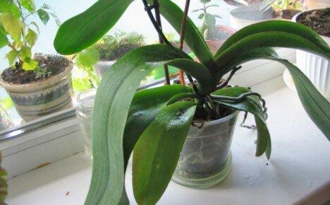 Почему больше не цветет домашняя любимица орхидея?