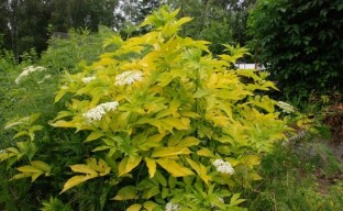Бузина Ауреа – декоративное древовидное растение со съедобными ягодами