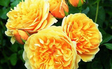 За что все романтики любят розу английскую Грэхэм Томас