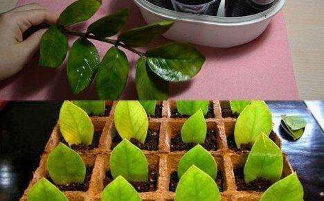 Размножение замиокулькаса: черенки или листки