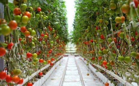 Как вырастить помидоры на гидропонике – инструкция с советами и рекомендациями