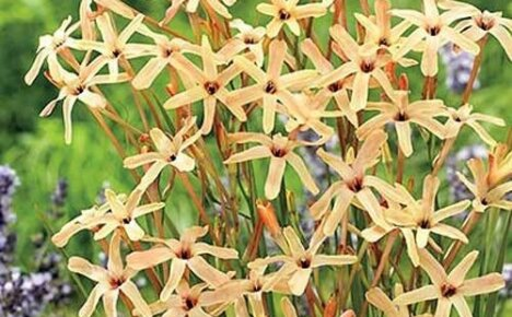 Теплолюбивая нежная красавица иксия метельчатая