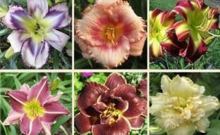 Представляем самые красивые сорта лилейников