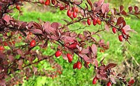 Посадка и уход за барбарисом краснолистным на садовом участке