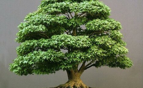 Изысканный японский бонсай: клен в миниатюре