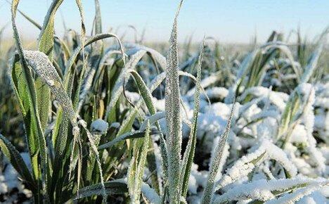 Сеем осенью рожь как сидерат для улучшения состава почвы
