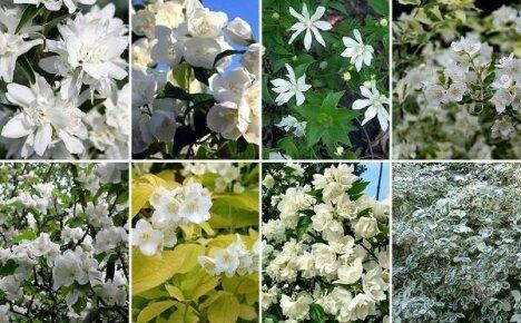Выращиваем в саду ложный жасмин: популярные сорта чубушника