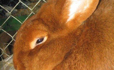 В чем секрет популярности среди фермеров кроликов породы Новозеландская красная