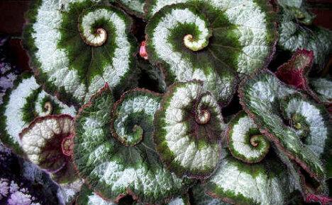 Размножение декоративно-лиственной бегонии