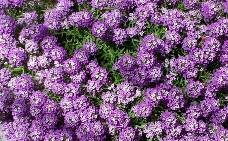 Изучаем правила посадки лобулярии и ухода за цветами в открытом грунте
