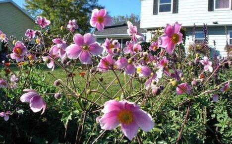 Посадка клубней анемонов в открытый грунт и уход за растениями