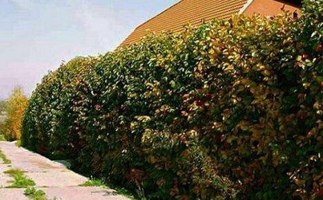 Украшаем и защищаем участок колючей изгородью: как и какие кустарники использовать