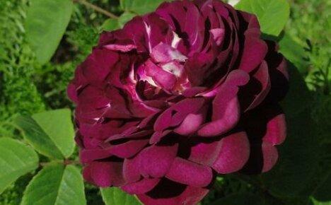 Очаровательные французские розы