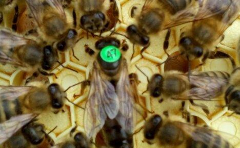 Пчелы породы Карника – отличный выбор для регионов с короткими зимами