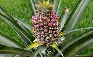 Выращивание ананаса и производство цукатов из него