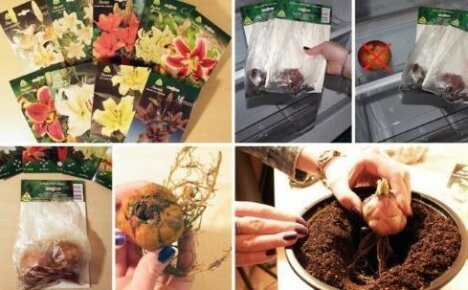 Способы хранения луковиц лилий зимой и весной до высадки в грунт