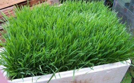 Выбираем для дачного участка газон из мятлика