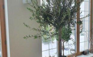 Оливковое дерево в домашних условиях — все секреты успешного выращивания