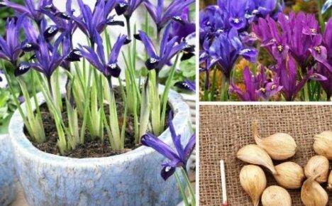 Выращиваем луковичные ирисы: особенности посадки и ухода
