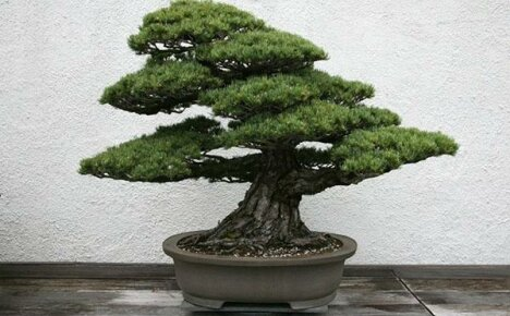 Бонсай сосна – искусство уникальных деревьев
