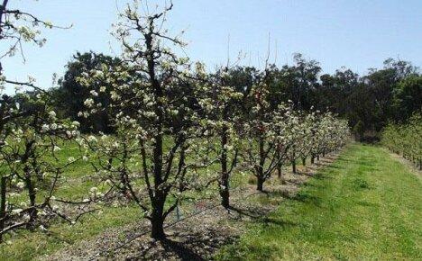 Щедрая на урожай Груша Вильямс – фаворит среди сортов