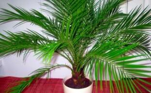 Самое выносливое и полезное растение — финиковая пальма