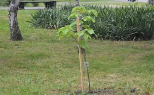 Посадка липы: как выбрать для дерева-медоноса комфортное место в саду