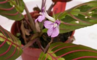 Маранта трехцветная – особенности цветка и ухода за ним