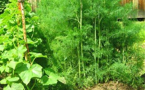 Как нужно сажать укроп, чтобы обеспечить семью свежей зеленью круглый год?