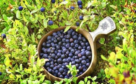 Болезни и вредители голубики: советы для начинающих садоводов