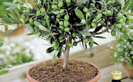 Все тонкости ухода для пышного цветения и плодоношения оливковых деревьев в домашних условиях