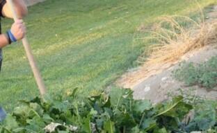 Как избавиться от хрена – очищаем огород от разросшегося растения