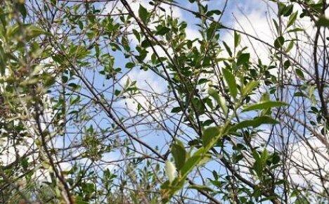 Что делать, если после цветения вишни плодоношение не наступает?