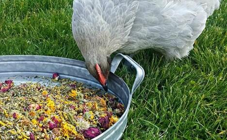 Восемь токсичных растений, которые нельзя использовать в птицеводстве
