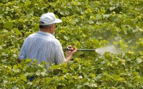 Сроки обработки виноградника весной медным купоросом