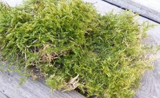 Лесной мох сфагнум: как вырастить в домашних условиях