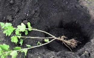 Посадка йошты: важные нюансы укоренения ягодного кустарника