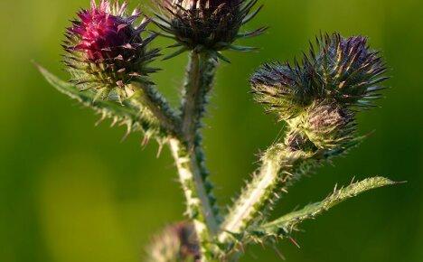 Лечебные свойства чертополоха и его использование в народной медицине
