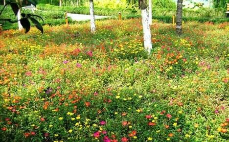 На сколько лет хватит многолетнего газона, не требующего стрижки?