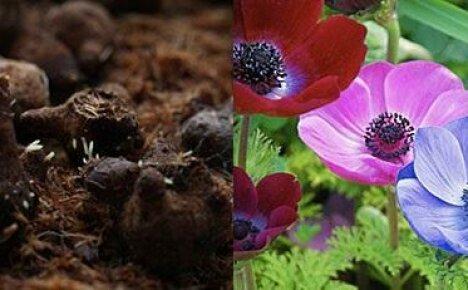 Анемона корончатая: особенности посадки клубней