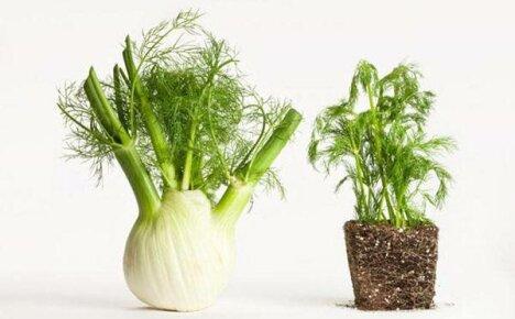 Отличие фенхеля от укропа: основные преимущества растений
