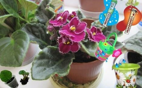 Грамотный уход — залог пышного цветения фиалок или как угодить мохнатым красавицам