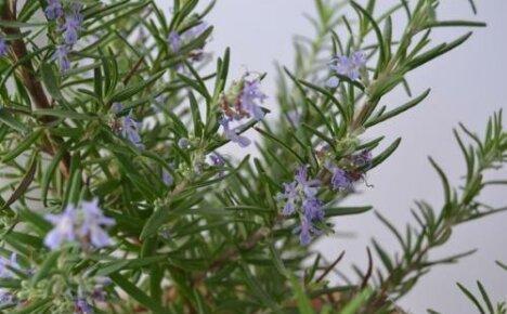 Как вырастить розмарин — тонкости садового дела