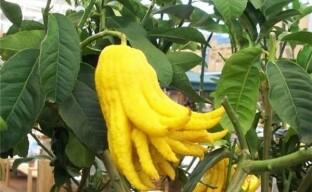 Выращиваем декоративный цитрус цитрон пальчатый или Руку Будды