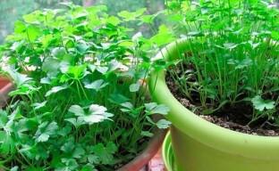 Выращиваем петрушку в квартире – как правильно посеять семена
