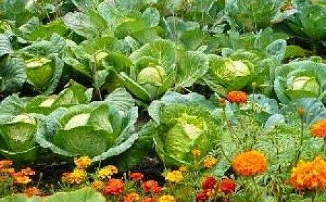Совместимость растений на огороде поможет увеличить урожай